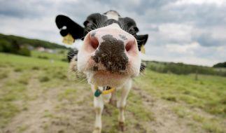 Weil er drei Mal mit einer Kuh Sex gehabt haben soll, muss sich ein Mann aus der Schweiz vor Gericht verantworten (Symbolbild). (Foto)