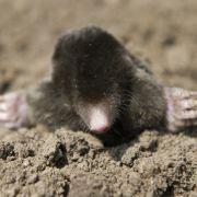 Holy mole-y! Maulwurf gräbt sich durch Fischmaul (Foto)