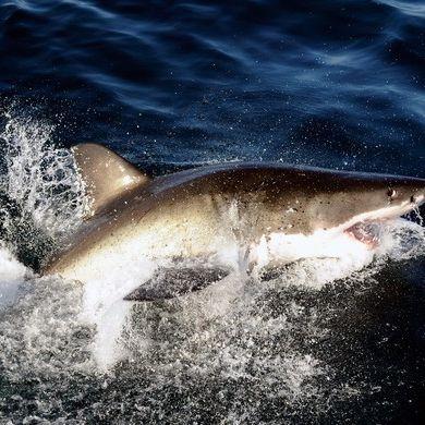 Männer binden Hai an Speedboot und schleppen ihn zu Tode (Foto)