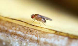 In den warmen Monaten des Jahres entwickeln sich Fruchtfliegen zu einer wahren Plage. (Foto)