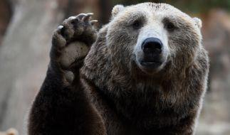 Ein Braunbär hat einen Tierpfleger in einem schwedischen Zoo zerfleischt (Symbolbild). (Foto)