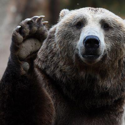 Braunbär zerfleischt Tierpfleger vor Zoobesuchern (Foto)