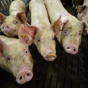 Afrikanische Schweinepest bedroht Deutschland (Foto)