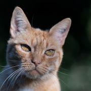Abartig! Tierquäler schneidet Kater beide Ohren ab (Foto)
