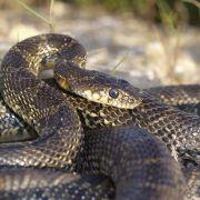 Schlangen-Plage! Reptilien terrorisieren Malle-Urlauber (Foto)