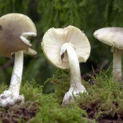 Vierköpfige Familie isst Giftpilz - und ringt mit dem Tod (Foto)