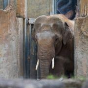 Unfall oder Attacke? Elefant verletzt Pfleger - Klinik! (Foto)