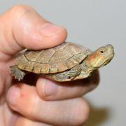 Baby-Schildkröte im Flugzeug-Klo entsorgt (Foto)