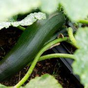 Frau liegt nach Verzehr von Zucchini drei Tage im Krankenhaus (Foto)