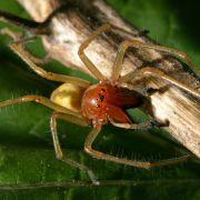 Nach Hauswinkelspinne - DIESE deutsche Spinne ist giftig! (Foto)