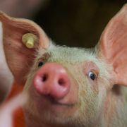 Sauerei! Mutantenschwein mit 2 Köpfen in China geboren (Foto)