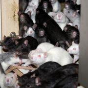 """""""In Blutlache gefunden"""" - Horde Ratten fällt über gelähmtes Mädchen (14) her (Foto)"""