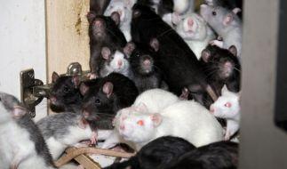 Gleich mehrere Ratten sind in Frankreich über ein junges Mädchen hergefallen. (Foto)