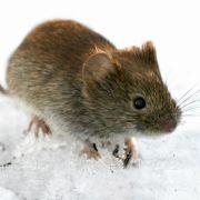 Vor allem Nagetiere übertragen das Hantavirus. Um sich nicht anzustecken, sollte man infizierte Tiere meiden.