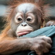 Orang-Utans zur Prostitution mit Menschen gezwungen (Foto)