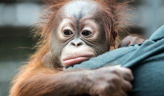 Orang Utans werden in Indonesien oft als Sexsklaven missbraucht. (Foto)