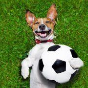 Fußball-begeisterter Hund mischt Erstliga-Spiel auf (Foto)
