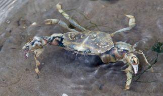 In China hat eine Krabbe versucht ihre tierischen Freude vor dem Tod zu bewahren. (Symbolbild) (Foto)