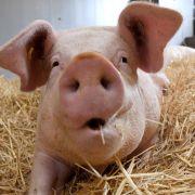Schweinerei! Dieses Mutanten-Ferkel besteht nur aus Muckis (Foto)