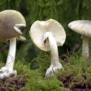 Pilz-Panik! Sind noch mehr Giftpilze im Umlauf? (Foto)
