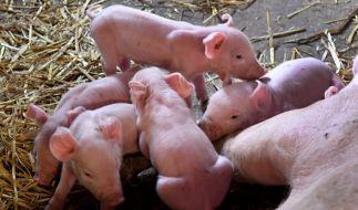 Artgerechte Schweinehaltung in Sachsen. (Foto)