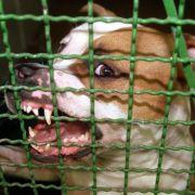 Zeugen hilflos! Pitbulls zerfleischen Kind (7) (Foto)
