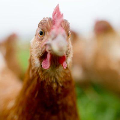 Gefährliche Chicken-Nuggets! Diese Produkte scheitern im Test (Foto)