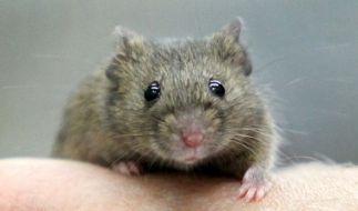 Ein Mann soll eine Maus brutal gefoltert haben (Symbolbild). (Foto)