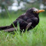 Killer-Virus tötet Vögel! Besteht Gefahr für den Menschen? (Foto)
