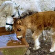Kind musste zuschauen! Mann missbraucht Pony in Streichelzoo (Foto)