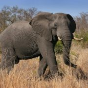 Elefant trampelt inSambia zwei Touristen tot (Foto)