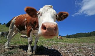 Für gewöhnlich haben Kühe vier Beine - doch ein Kälbchen aus China erwies sich als Laune der Natur (Symbolfoto). (Foto)