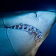Urlauberin von Sandtigerhai getötet (Foto)