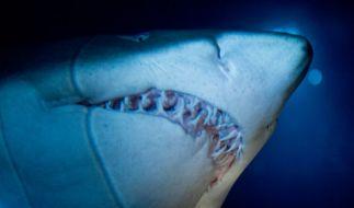 Ein Sandtigerhai von unten. (Foto)