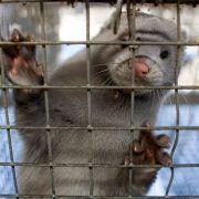 Ein Nerz in einem Käfig auf einer Nerzfarm in China.
