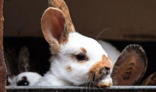 In Kalifornien riskierte ein Mann sein Leben, um ein Kaninchen zu retten (Symbolbild). (Foto)
