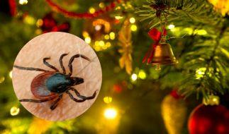Im Weihnachtsbaum können Zecken lauern. (Foto)