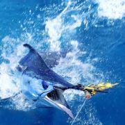Fischer angeln 500-Kilo-Meeres-Monster (Foto)