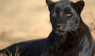 Ein Panther hat in einem russischen Zoo einen Mann zerfleischt. (Foto)