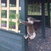 Koala brutal an Pfosten genagelt (Foto)