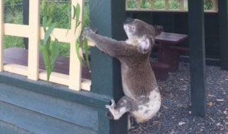 Ein Koala wurde in Australien grausam gequält. (Foto)