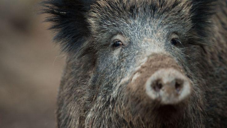Der Bauernverband fordert den Abschuss von mehr Wildschweinen. (Foto)