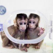 Große Bedenken nach Klonen von Äffchen in China (Foto)