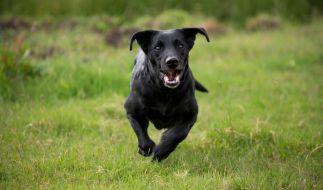 Ein Hund eilte einem Mädchen zu Hilfe. (Symbolbild) (Foto)
