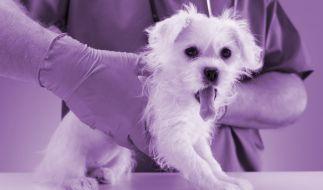 In den USA hat ein Besitzer seinen Hund lila eingefärbt - mit fatalen Folgen. (Foto)