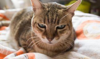 Zwei Katzen wurden von ihrem Besitzer über Jahre hinweg gequält. (Symbolbild) (Foto)