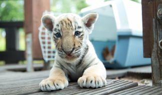 Ein kleines Tigerbaby wurde in Mexiko mit der Post verschickt. (Foto)
