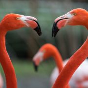 Sie möchten rund um die Uhr von Flamingos umgeben sein? Dann werden Sie doch Chief Flamingo Officer auf den Bahamas! (Foto)