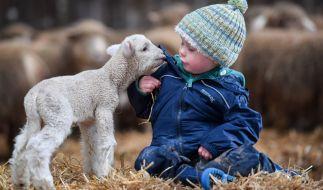 Forschern ist es gelungen, menschliches Erbgut mit dem von Schafen zu vereinen (Symbolbild). (Foto)