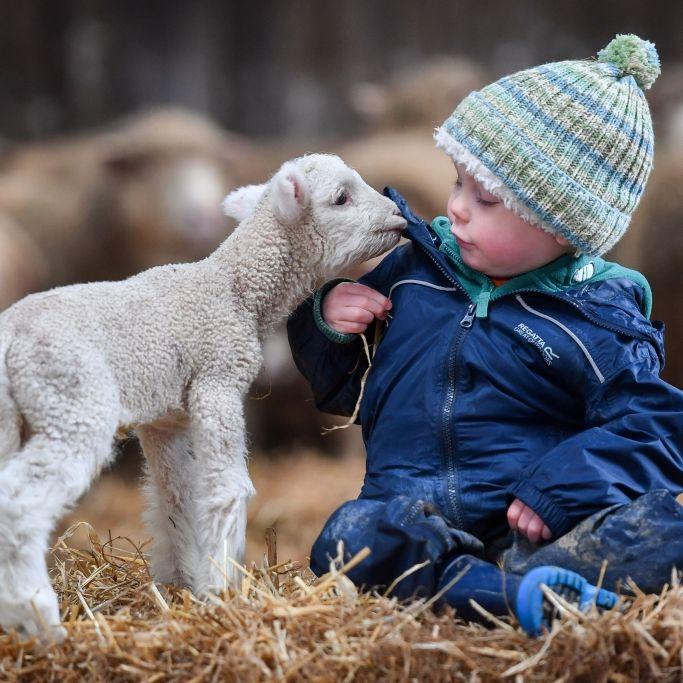 Mischwesen aus Mensch und Schaf geklont (Foto)